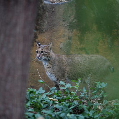 Bobcat sightings are on the rise in Ohio, with more than 200 in 2013.
