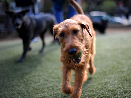 A dog runs with a tennis ball in its mouth in a Washington, D.C. dog park.
