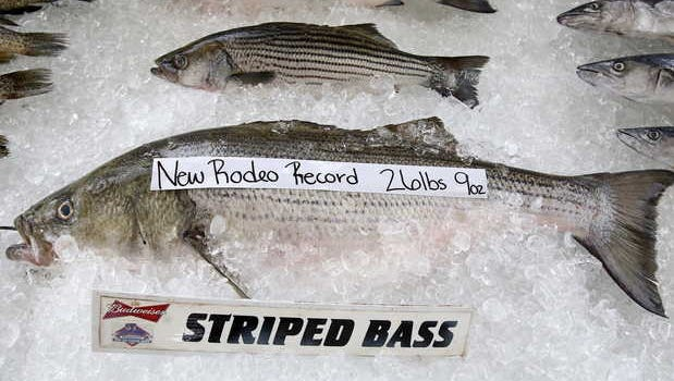 A striped Bass caught by Terry Dill of Gulfport on Saturday broke the Mississippi Deep Sea Fishing Rodeo record with a weigh-in of 26 pounds, 9 ounces.
