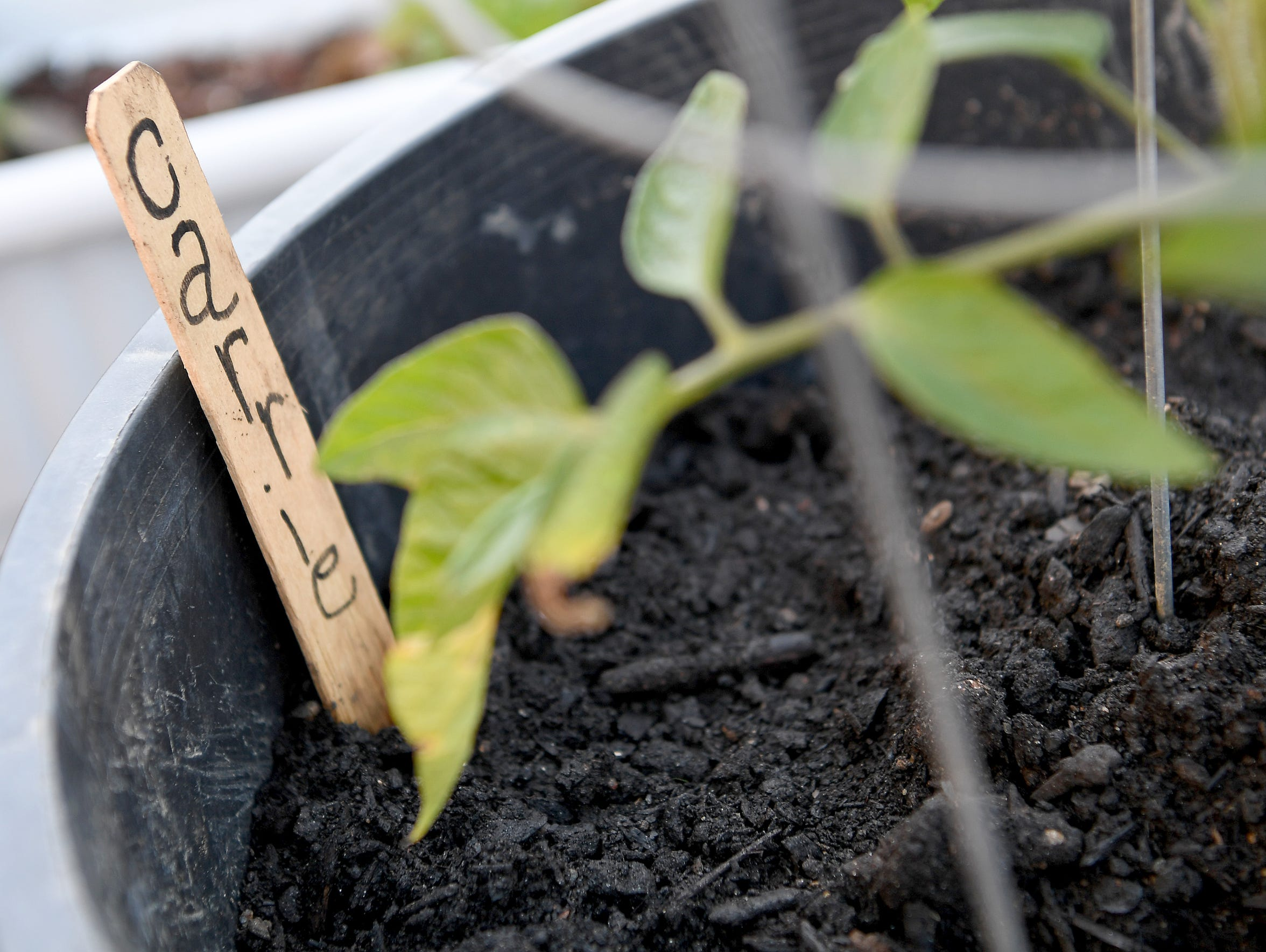 A wooden stick indicates that a pot with a tomato plant