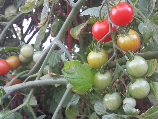 Gardens that have escaped hail are bursting with produce