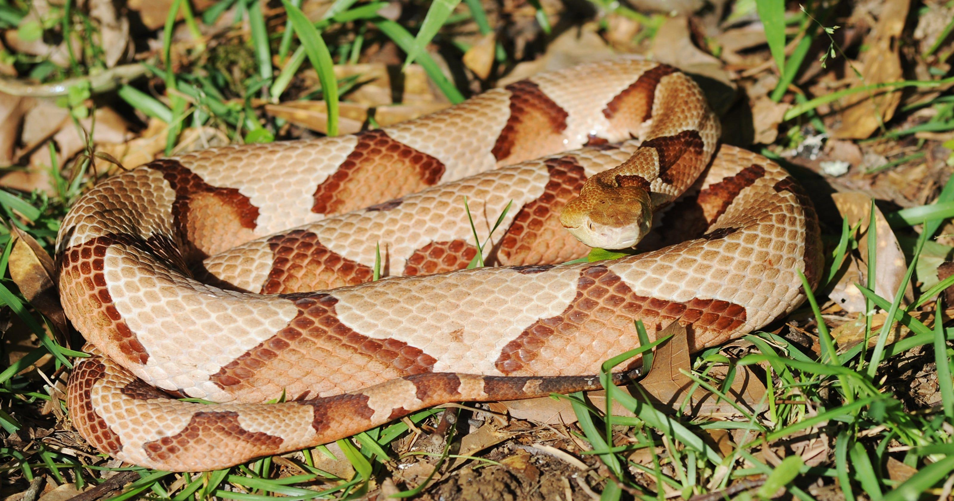 copperhead snake bite