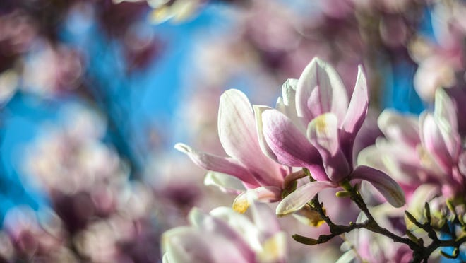 Magnolias are a good pick for a flowering tree for Mom.