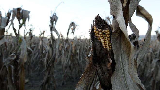 Corn damaged by Midwest drought conditions in Brownsville, Ill., in 2012.