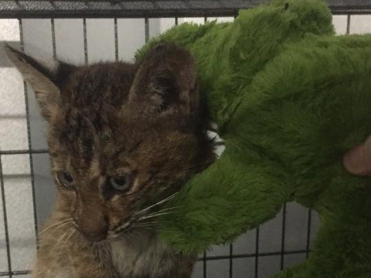 Heater the bobcat recovers at Louisiana Bobcat Refuge.
