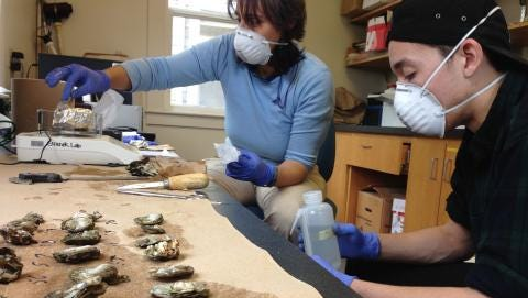 Elise Granek and PSU student Dominic Galen prepare oysters for testing.