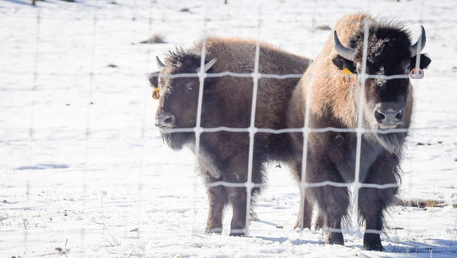 Two bison calves created using assisted reproductive technologies roam in a pen near Hughes Stadium on March 6, 2015.