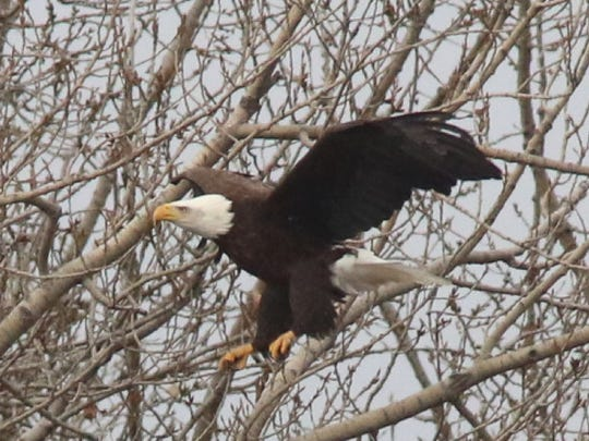 One of two adult bald eagles near a nest that looks out on Overpeck Creek, where the raptors have been seen for the past few years.