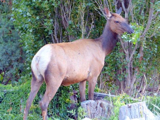 An elk cow trims a poplar tree next to a house.