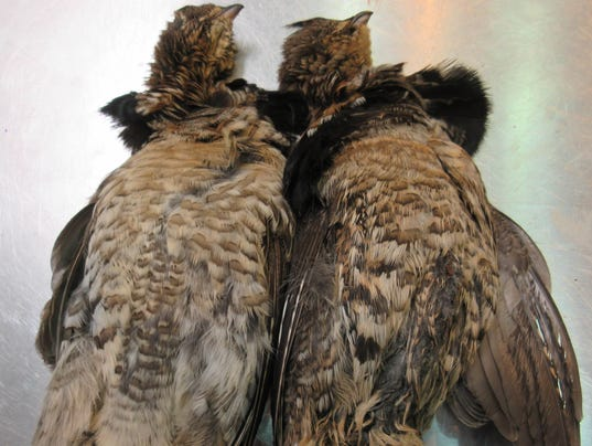 636481736561618663-Ruffed-grouse-ready-for-evaluation-Michigan-DNR-photo.jpg