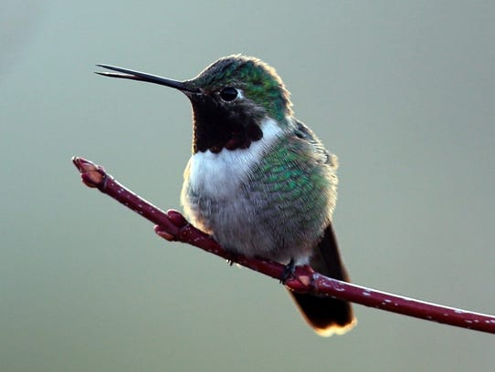 This broadtailed hummingbird arrived early to stake
