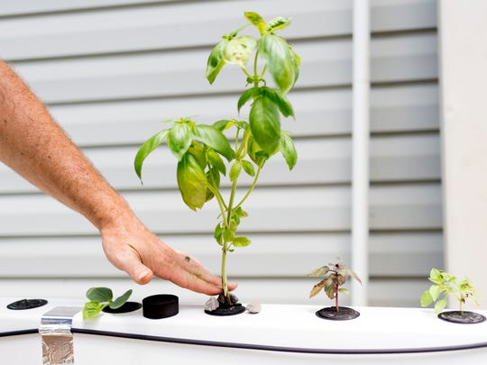 """Jeffry Turnmire straightens a hydroponic basil plant at two acre backyard garden in West Knoxville, Tennessee on Thursday, July 19, 2018. Turnmire is the first in Knoxville to successfully zone with lot with the city as a """"market garden,"""" hoping to eventually sell his produce to local restaurants."""