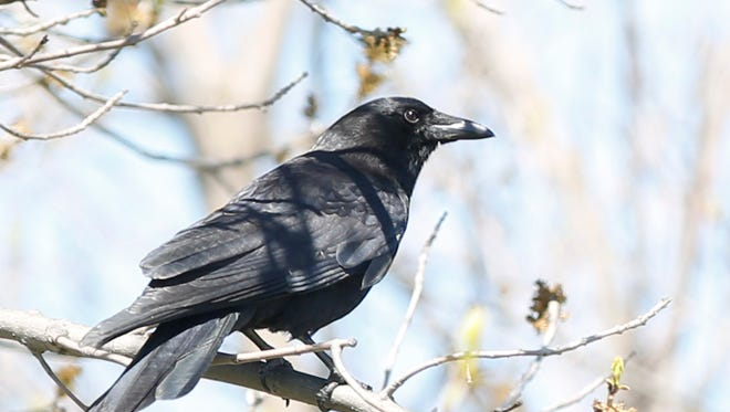 Crows are damaging vehicles in Waupun.