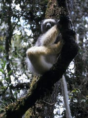 Madagascar, Mahatsinjo district. Sadabe lemur.
