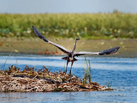 The great blue heron is the largest of the herons. Images from an Audubon of Martin County field trip to Lake Okeechobee on Saturday, August 13, 2016.
