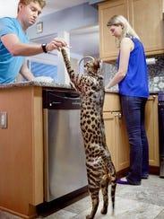 Arcturus Aldebaran is the tallest domestic cat on record,