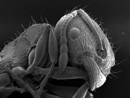 An ant, as captured by the UD BioImaging Center, which