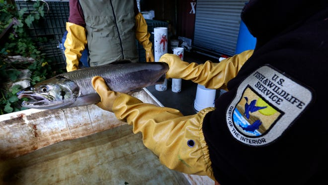 In this Oct. 20, 2014, photo, Steve Damm, a biologist with the U.S. Fish and Wildlife Service, holds a salmon that died from four hours of exposure to unfiltered highway runoff water at the Grovers Creek Hatchery in Poulsbo, Wash.