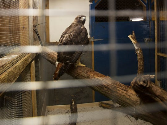 An injured red tailed hawk looks on from its new enclosure under the Calusa Nature Center and Planetarium on Tuesday.