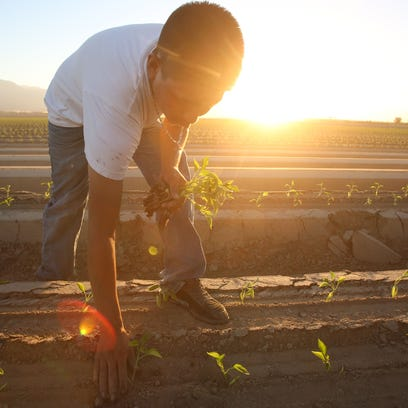In late July 2015, a farmworker plants bell peppers