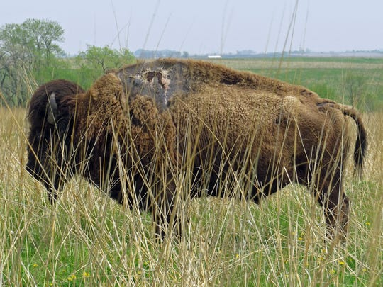Sparky, the bison. He was struck by lightning in July