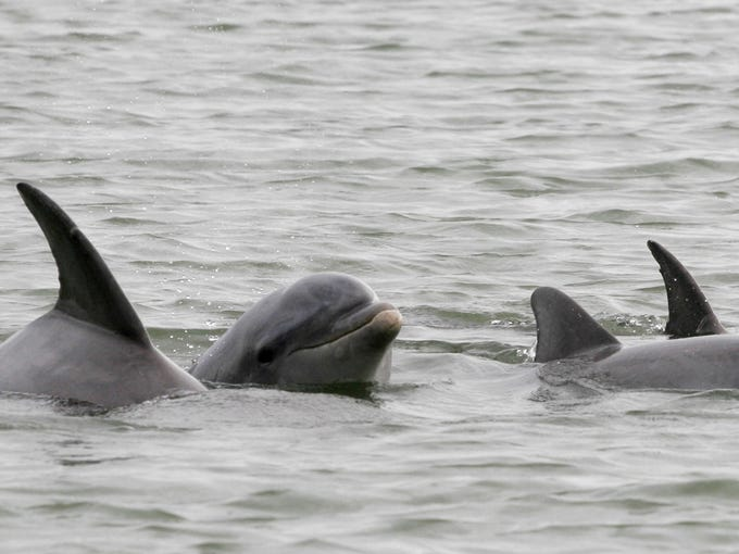 A group of Bottlenose Dolphin swim in the waters near Marco Island during an eco-tour with Sea Excursions Inc.
