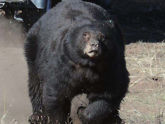 REN0813-MV bear shot