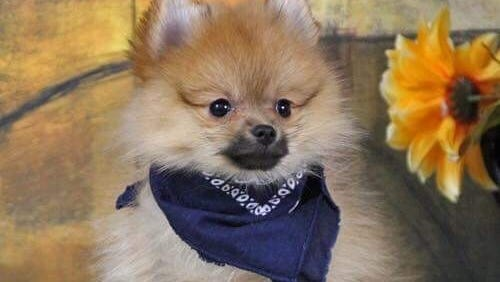3-month-old Pomeranian, Marco.