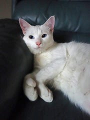 Kapri is a 2-and-a-half year old, white polydactyl.