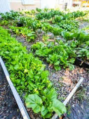 Greens thrive at Jay Parson's home in East Fort Myers where Patrick Caldwell of Lazy Man's Garden drew inspiration for his ideas about urban farming.