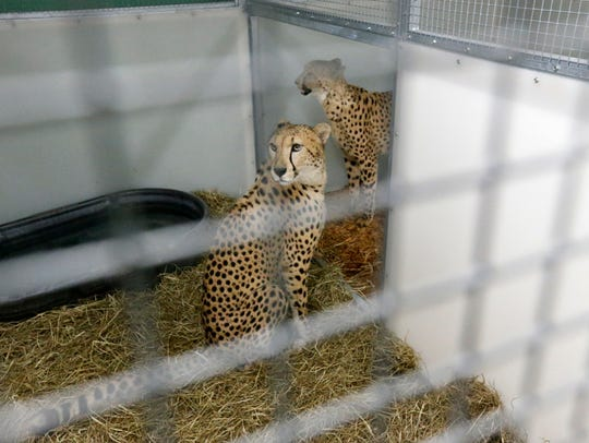 Brother cheetahs Koda and Diesel are shown in an inclosure