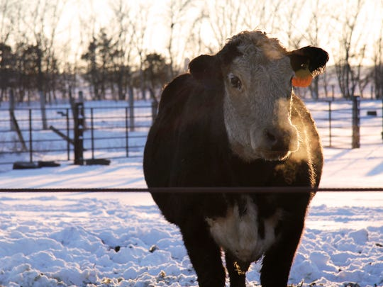 Cow #35 on the Cwach farm is expecting about the same time as the farmer's wife. The cow is  a calm, docile mama.