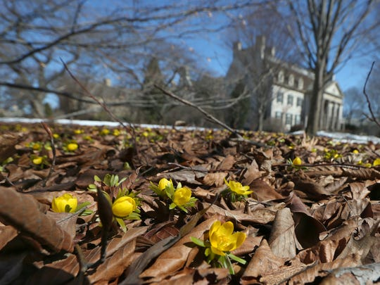 Bright yellow winter aconite blooms on the front lawn at the George Eastman House. File photograph.