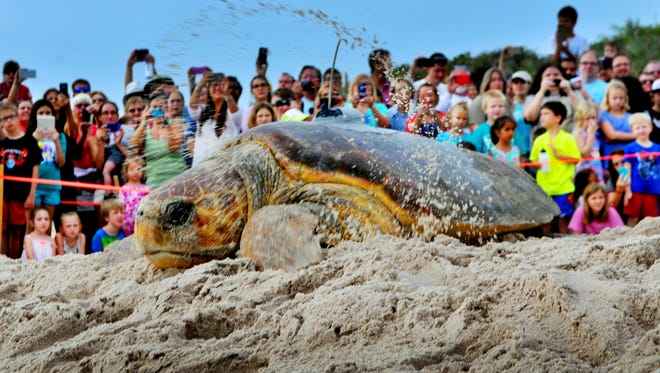 Myrtle the loggerhead turtle scoots across the sand in August to kick off the eighth annual Tour De Turtles at the Barrier Island Center south of Melbourne Beach .