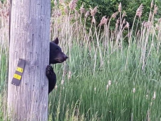 Black bear Ontario County