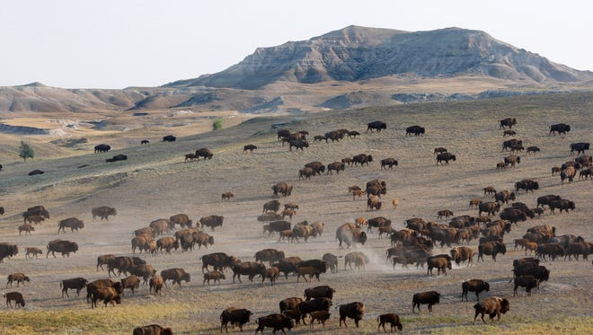 A buffalo herd is moved from one grazing pasture to another on the sprawling lands near Hermosa, S.D.  The Great Plains, a windswept, largely treeless expanse that covers large parts of 10 states, occupies one-fifth of the nation's land area. Yet its population is less than Georgia's.