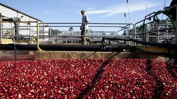 Massachusetts cranberry growers said recent dry conditions have compounded other weather issues, leading them to lean toward a more conservative estimate for cranberry production this year.