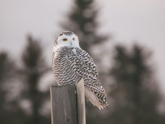 -A-juvenile-snowowl-on-the-lookout-for-food.jpg