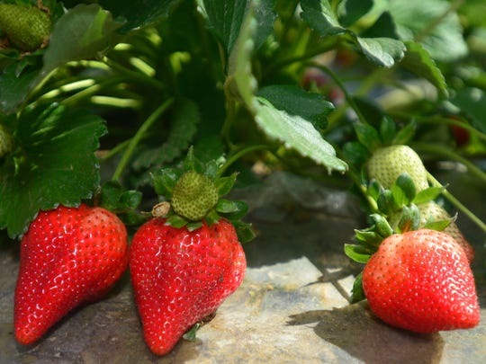 Strawberry stands are opening all over Tulare County.