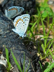 Karner blue butterflies and broad-headed bugs seek