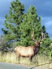 A bull elk with an impressive rack stands in a regal
