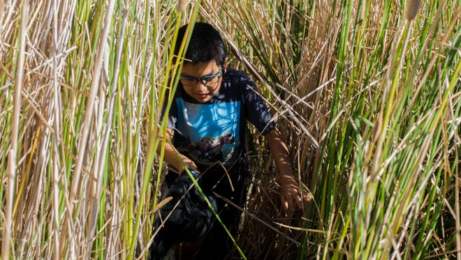 Damien Davis, 7, walks through a wall of cattails to reach his grandmother, Delphia Graves, while she harvests reeds in Phoenix on Sept. 16, 2017.