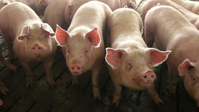 Hogs occupy pens at an Iowa confinement facility in this file photo