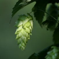 Beer from here: Growing beer industry leads to farming boom