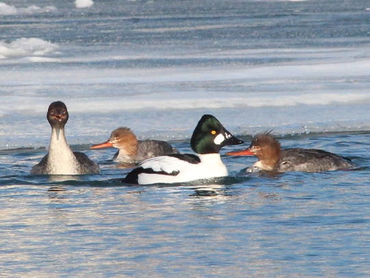 A male common goldeneye (right center) and three mergansers swim and fish in water kept open by an aerator in the Kenosha harbor.