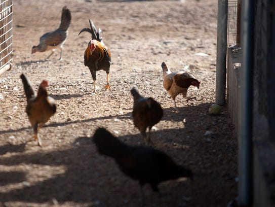 Chickens are seen in a coop.