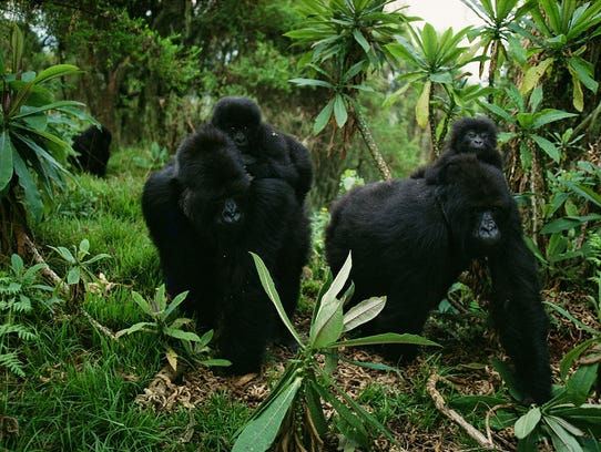 Saddled with their infants, two female gorillas lumber