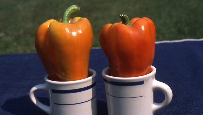 A new sweet pepper is the Garfield Hybrid with bright orange colored fruits. A plant produces five or more large bell peppers on a compact plant. Plant and fruits have strong disease resistance.