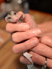 Doc Morgan holds a baby opossum that was brought into her clinic.