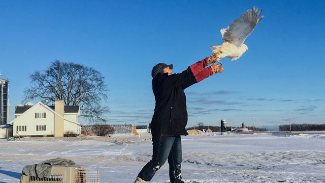 Susan Theys of Wildlife of Wisconsin releases a snowy owl in mid-February at Legend Farms Dairy in Kewaunee. Theys nursed the owl back to health after it was found ailing in the barn.